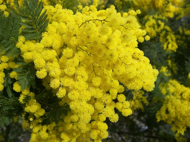 mimosa flower « Sharing My Italy...The Blog